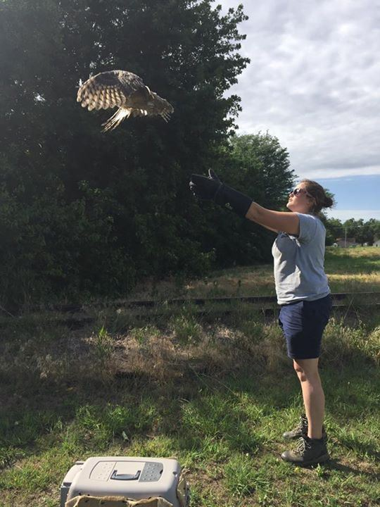 great horn owl release
