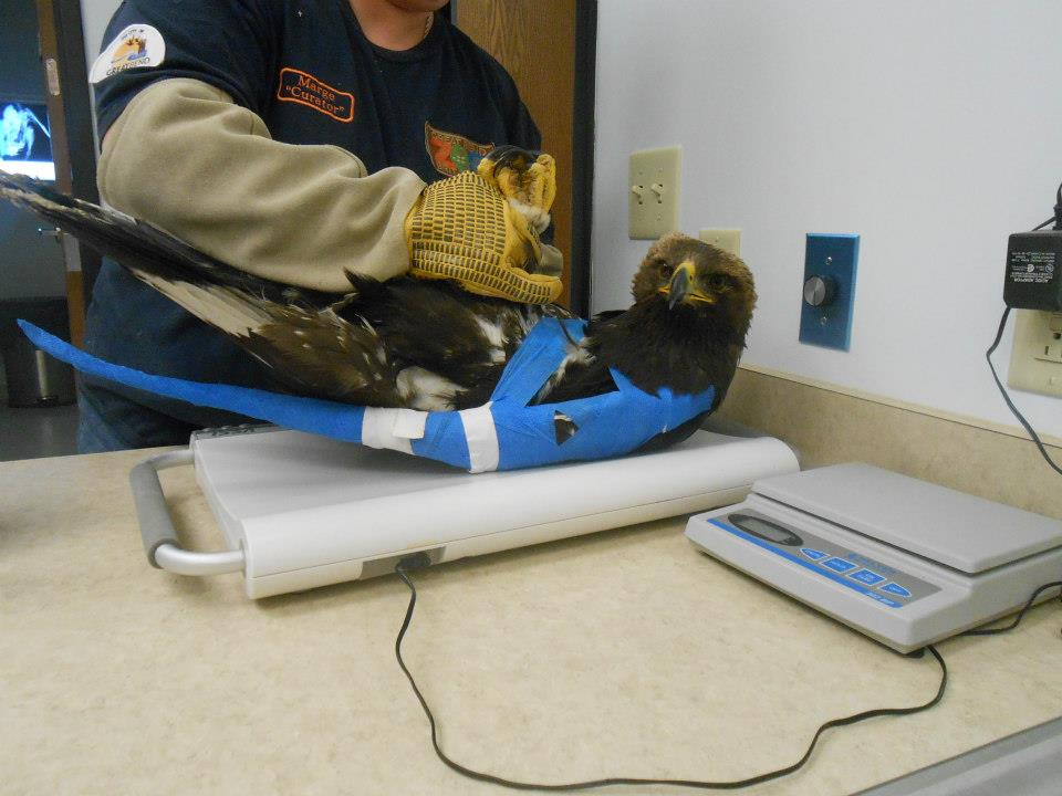 golden eagle being weighed
